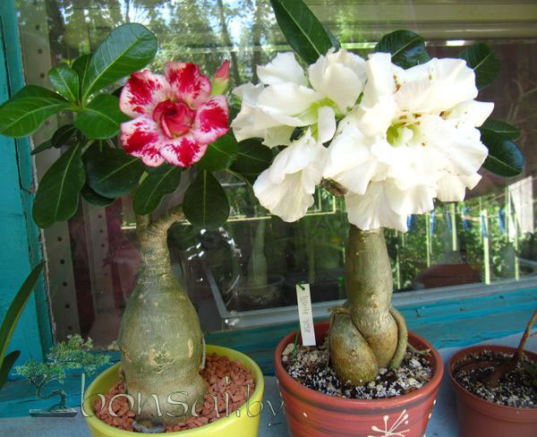 adenium-white-rose4